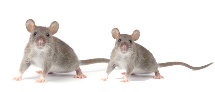 Rodent Control Watson